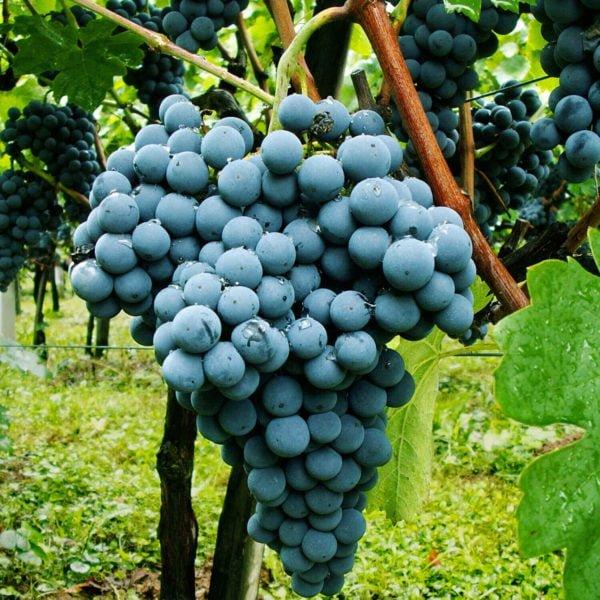 Vino Kapseln kaufen online Schweiz